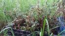 Polylepis Incana